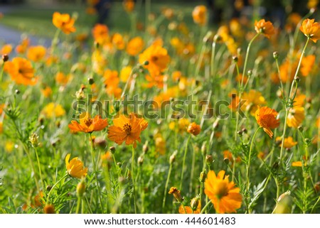 Large cluster of orange cosmos flowers in a park with water droplets
