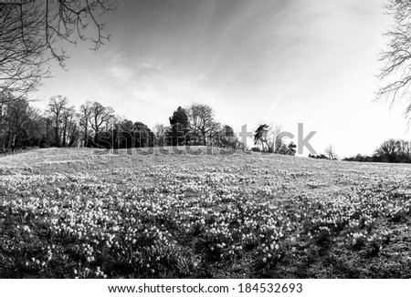 large daffodil fields woods in essex england, the first signs of spring is on it's way