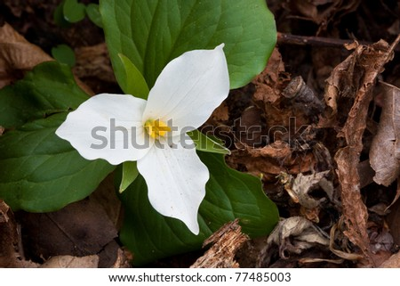 large-flowered trillium spreads its petals on the forest floor. trillium is nestled close to the ground as it struggles to grow.