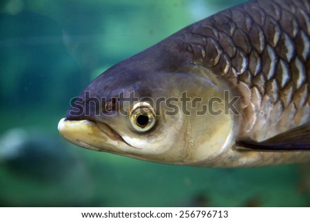 Large freshwater fish ( Siamese Barb ) swimming