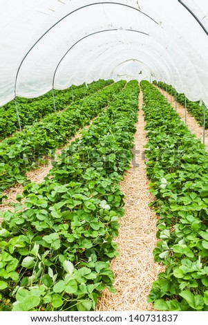 Large greenhouse with rows of fresh organic strawberry plant (Fragaria ananassa)