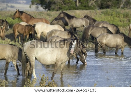 Large group of wild horses wading into pond at Black Hills Wild Horse Sanctuary, the home to America's largest wild horse herd, Hot Springs, South Dakota