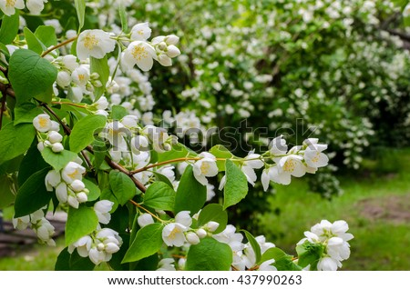 Large lush blooming jasmine bush in a sunny summer day in the garden