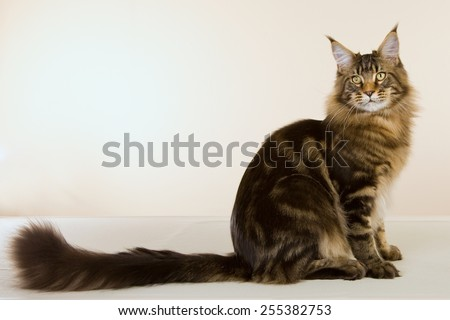 Large Maine Coon cat sitting on beige background showing off long tail