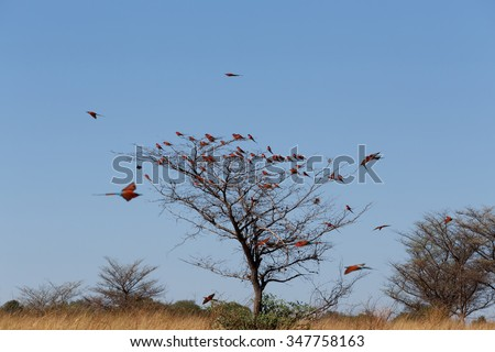 large nesting colony of Nothern Carmine Bee-eater (Merops nubicoides) on bank of the Zambezi river in Caprivi Namibia, Africa
