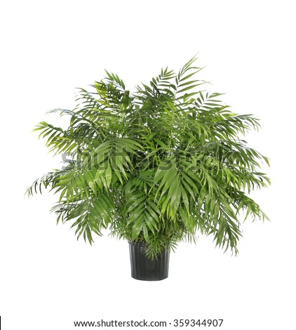 Large Potted Neamthabella Palm Isolated on White