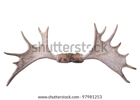 Large set of moose antlers isolated on white background front view