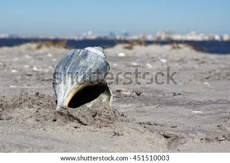 Large whelk shell in the sand with blue water and blue sky in the background.