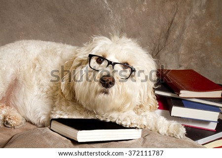 Large white Golden Doodle dog studying next to a pile of books while wearing reading glasses.  Beige textured Background.
