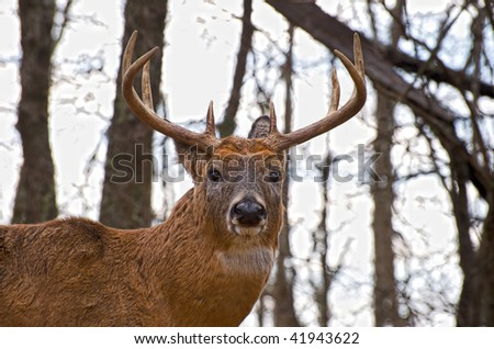 Large whitetail buck  with antlers on edge of forest