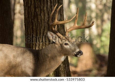 Large whitetailed deer buck in the woods in Tennessee