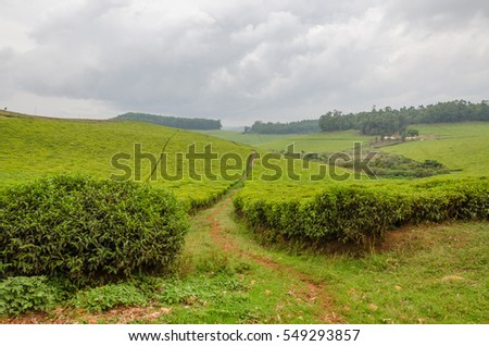 Largest tea plantation of Cameroon, Africa with paths leading through on overcast day
