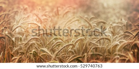 Late afternoon in wheat field - sunset in wheat field
