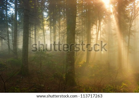 Late autumn morning in the foggy forest with sun beams.