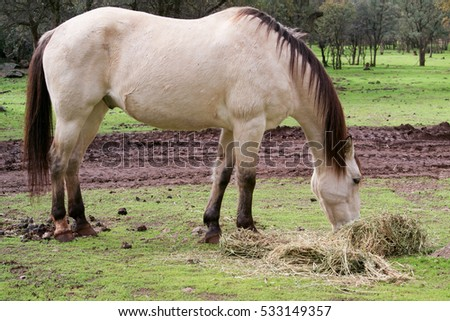 Lateral view of a male buckskin American saddle horse eating grass outside in a field in Northern California, with ears pointed backwards