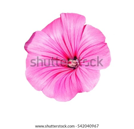 Lavatera trimestris (syn. Althaea trimestris) - annual mallow flower  isolated on white background.