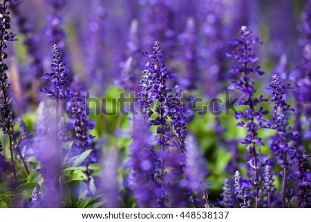 Lavender bushes closeup