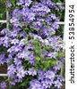 lavender clematis vine on white trellis fence - stock photo