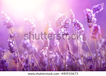 Lavender field in sunlight