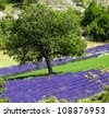 Lavender fields.Provence,France. - stock photo