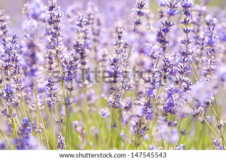 Lavender flower blooming scented field, Sequim, WA