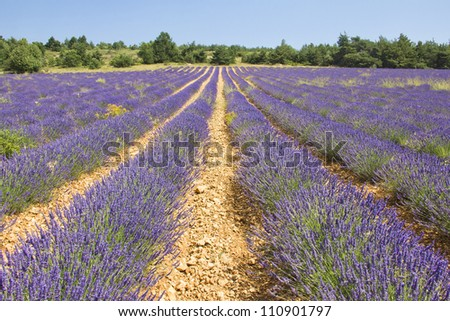 Lavender in Provence, Provence