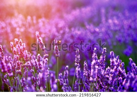 lavender in sunset flare