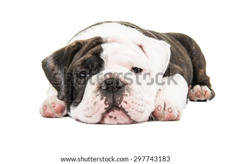 lazy bulldog puppies - photo #44