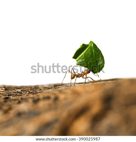 Leaf-cutter ant, Acromyrmex octospinosus, carrying leaf piece on tree log. Isolated on white background.