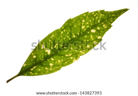 Leaf from a spotted laurel (Aucuba japonica) shrub isolated on a white background