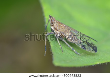 Leafhopper on the leaf