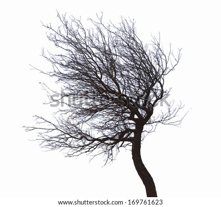 leafless tree isolated on white background