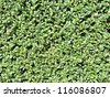 Leafy Hedge Background - stock photo