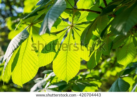 leaves of chestnut