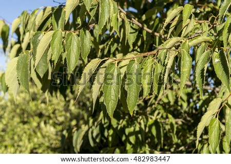 Leaves of European nettle tree, Celtis australis. It is a deciduous tree native to southern Europe, North Africa and Asia Minor