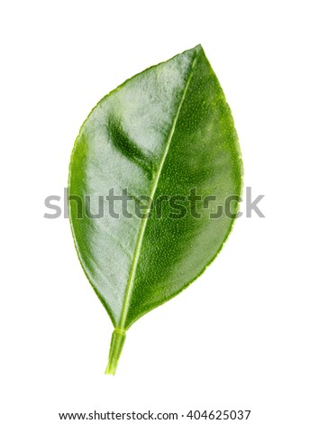 lemon leaf isolated on white background clipping path