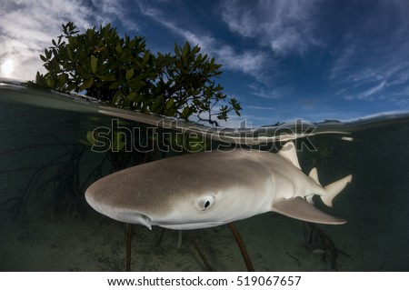 Lemon shark pup in mangroves. This is a split, half and half image showing the shark underwater and the mangrove leaves above water.