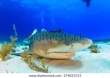 Lemon shark resting on the sandy bottom, Tiger beach, Bahamas