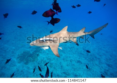 Lemon shark swims through fish in Pacific ocean