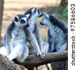 Lemur taking up a curious pose - stock photo