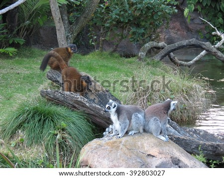 Lemurs on a Log