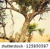 Leopard eating his victim on a tree. Safari in Serengeti, Tanzania, Africa. - stock photo