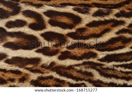 Cheetah Fur Close Up Closeup Amur Le...