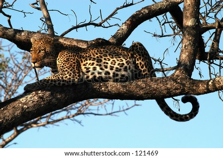 Leopard in tree, Lodollozi game preserve, South Africa