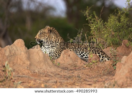 Leopard on a termite mountain  at night