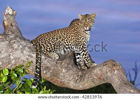 Leopard on overcast day