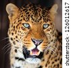 Leopard portrait on dark background - stock photo