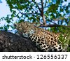 leopard resting - stock photo
