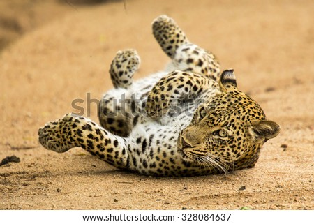 Leopard rolling in River Bed