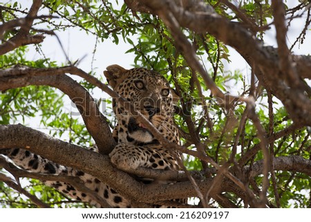 leopard silent hunter in the wilds of africa